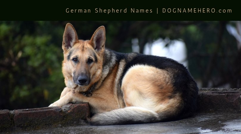 German Shepherd Names