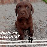 Chocolate Lab Dog Names