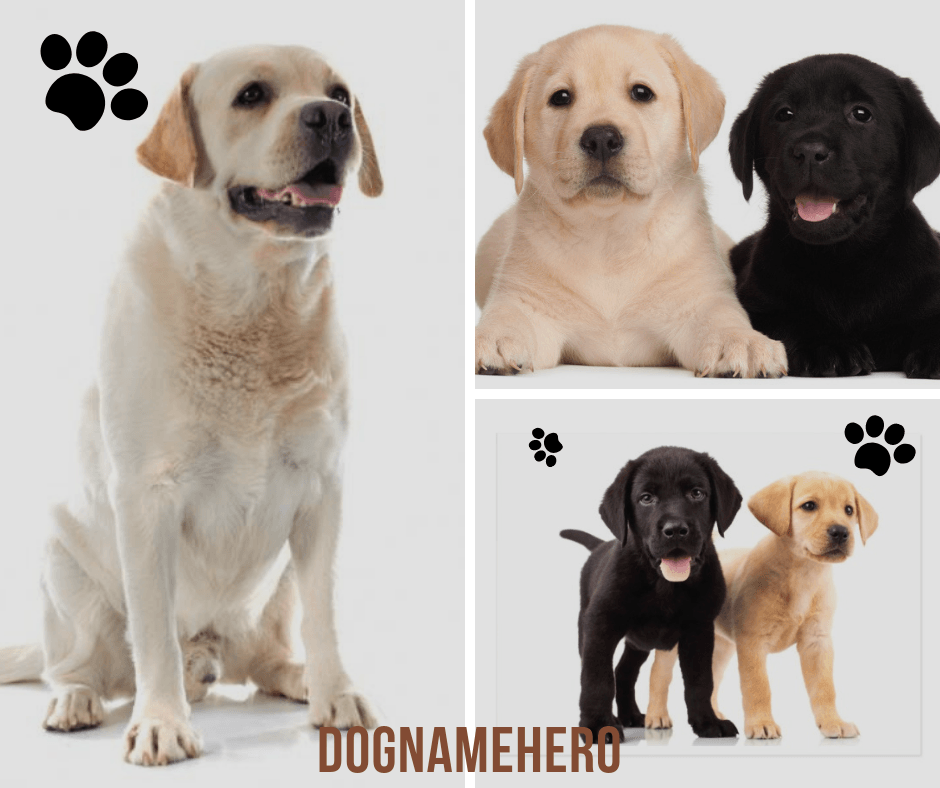 Labrador Retriever Names