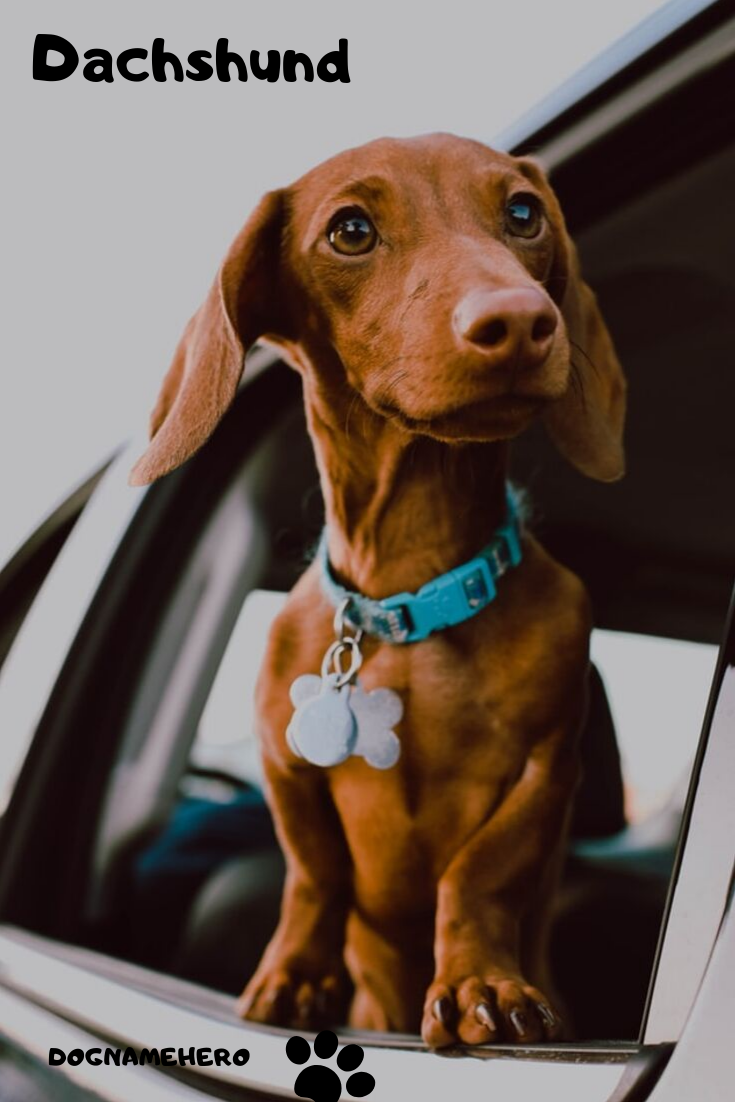 Dachshund Breed Info