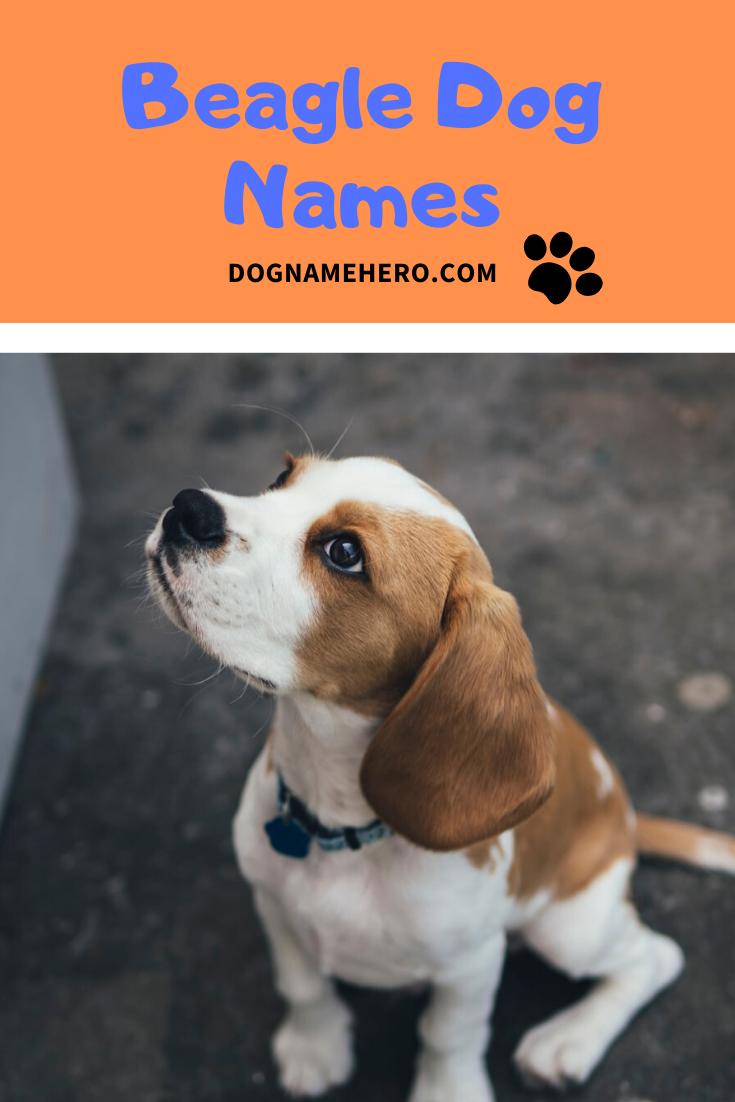 Beagle Dog Names